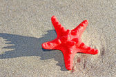 Rare red starfish in the sea sand — Stock Photo