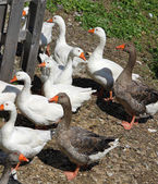 White geese and ducks on the farm in the countryside 2 — Stock Photo