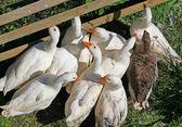 Gansos e patos com o bico laranja na fazenda 6 — Fotografia Stock