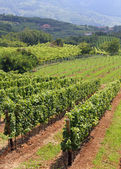 Landscape with vineyards loaded with bunches of grapes 2 — Stock Photo