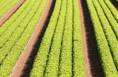 Rows of green salad grown in agricultural field 3 — Stockfoto