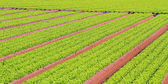 Rows of green salad grown in agricultural field 2 — Stock Photo