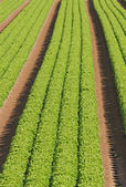 Rows of green salad grown in agricultural field 4 — Stock Photo