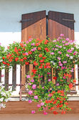 Flowering balcony with large pots of Geraniums blooming  3 — Stock Photo