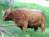 Hairy yak grazing in the Meadow — Stock Photo