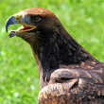 Tawny Eagle with open beak — Stock Photo #51554741