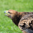 Great Eagle takes off with its beak open in search of prey — Stock Photo #51554749