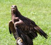 Watchful eye of the Eagle with beak open — Stockfoto