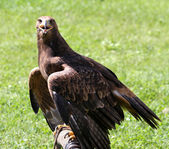 Watchful eye of the Eagle with beak open — Stock Photo