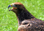 Tawny Eagle with open beak — Stock Photo