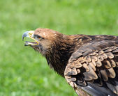 Great Eagle takes off with its beak open in search of prey — Stock Photo