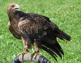 Great Eagle perched on the pedestal waiting for Falconer — Stock Photo