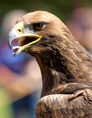 Close-up of a mighty Eagle — Stock Photo