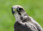 Peregrine falcon with very attentive gaze — Stock Photo