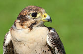 Profile of Peregrine Falcon with yellow beak — Stock Photo