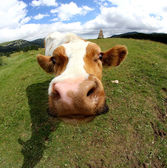 Funny cow muzzle photographed with fisheye lens — Stock Photo