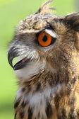 OWL with fluffy feathers and huge orange eyes and beak open — Stockfoto