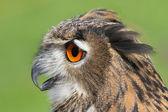 OWL with huge orange eyes and soffgli the open beak — Stockfoto