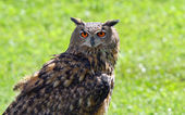 OWL with fluffy feathers and huge orange eyes — Stockfoto