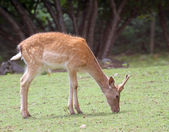 Deer  while grazing the grass mountain meadow — Stock Photo
