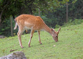 Fawn while grazing the grass mountain meadow — Stock Photo
