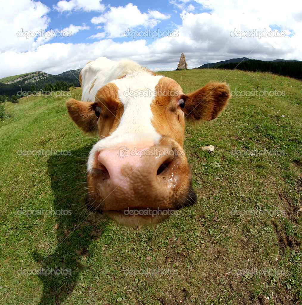 Bozal de vaca divertida fotografiado con lente ojo de pez foto de stock 51554797 depositphotos - Photo de vache drole ...