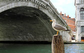 Great Black-headed Gull on the Grand Canal and the Rialto Bridge — Stock Photo