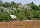 Free flying Gull in the natural park — Stock Photo