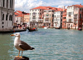 Great Black-headed Gull and the Grand canal in Venice — Stock Photo