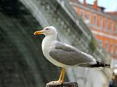 Black-headed Gull and the rialto bridge in Venice — Stock Photo