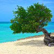 Tree of Aruba - Stock Photo