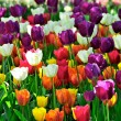 Keukenhof Park - Color Mix Tulips — Stock Photo