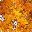Orange fall leafs — Stock Photo