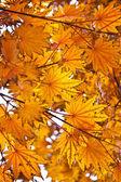 Foglie di autunno arancia — Foto Stock