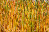 Autumn reeds leafs background — Photo