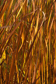 Autumn reeds leafs background — Stock Photo