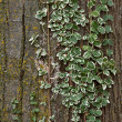 Bark tree with ivy leafs and lichens — Stock Photo