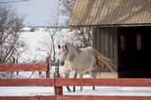 White horse in the snow — Stock Photo