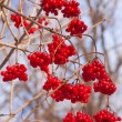 Stock Photo: Shrubbery full of red wild fruits