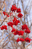 Shrubbery full of red wild fruits — Stock Photo