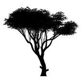 Acacia — Stock Vector