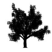 Linden — Vector de stock