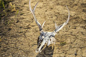 Skull and Drought — Stock Photo
