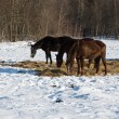 Horses in winter forest - Stock Photo