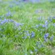 Stock Photo: Blue flowers field, selective focus