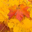 Stock Photo: Maple leaves background, selective focus