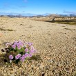 Stock Photo: Landmannalaugar mountains in Iceland, landscape view with flower