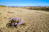 Landmannalaugar mountains in Iceland, landscape view with flower — Stock Photo