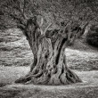 Stock Photo: Old olive tree trunk, roots and branches