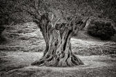 Old olive tree trunk, roots and branches — Stock Photo